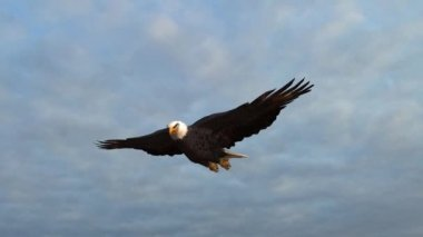 Bald Eagle flies in the sky — Stock Video