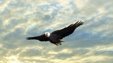 Bald Eagle flies in the sky — Wideo stockowe