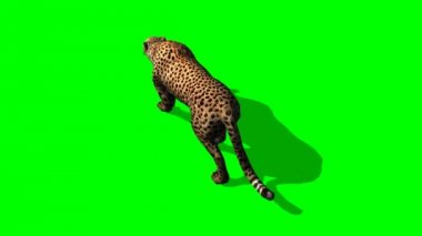 Cheetah walks on green background — Vídeo de Stock