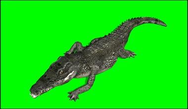 Крокодила Аллигатор прогулки - зеленый экран — Стоковое видео