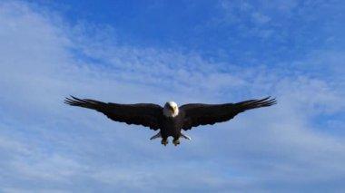 Bald Eagle flies in the sky — Vídeo de Stock