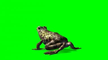 Frog eats on green background — Stock Video