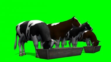 Cows at the water trough - green screen — Stock Video