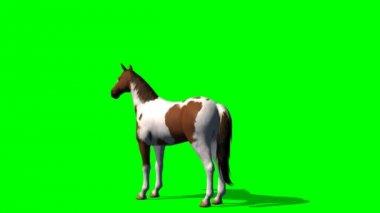 Horse motion rising - green screen — Stock Video