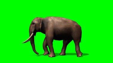 Walking african elephant — Stock Video