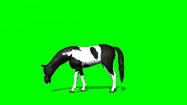 Horse grazing - green screen — Wideo stockowe