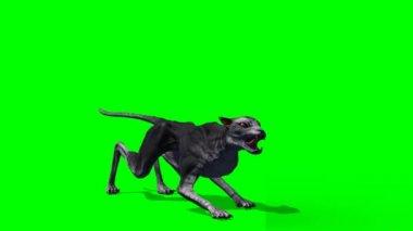 Devil cat roars on green background — Stock Video