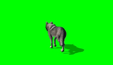 Wolf walking on green background — Video Stock