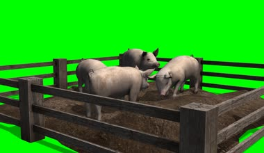 Pigs behind wooden fence — Stock Video