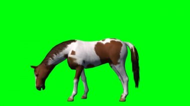 Brown and white Horse grazing — Stock Video