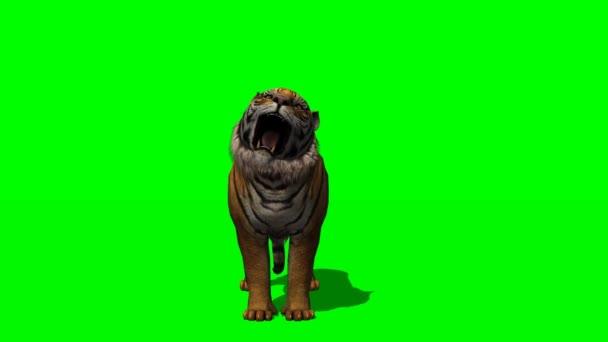 Aullidos en la pantalla verde de tigre — Vídeo de stock