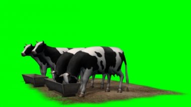 Cows at the water trough — Stock Video