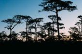 сосна в рассвет — Стоковое фото