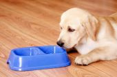 Golden retriever dog in front of his bowl — Stock Photo