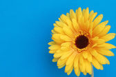 Beautiful daisy gerbera flower isolated on blue background — Zdjęcie stockowe