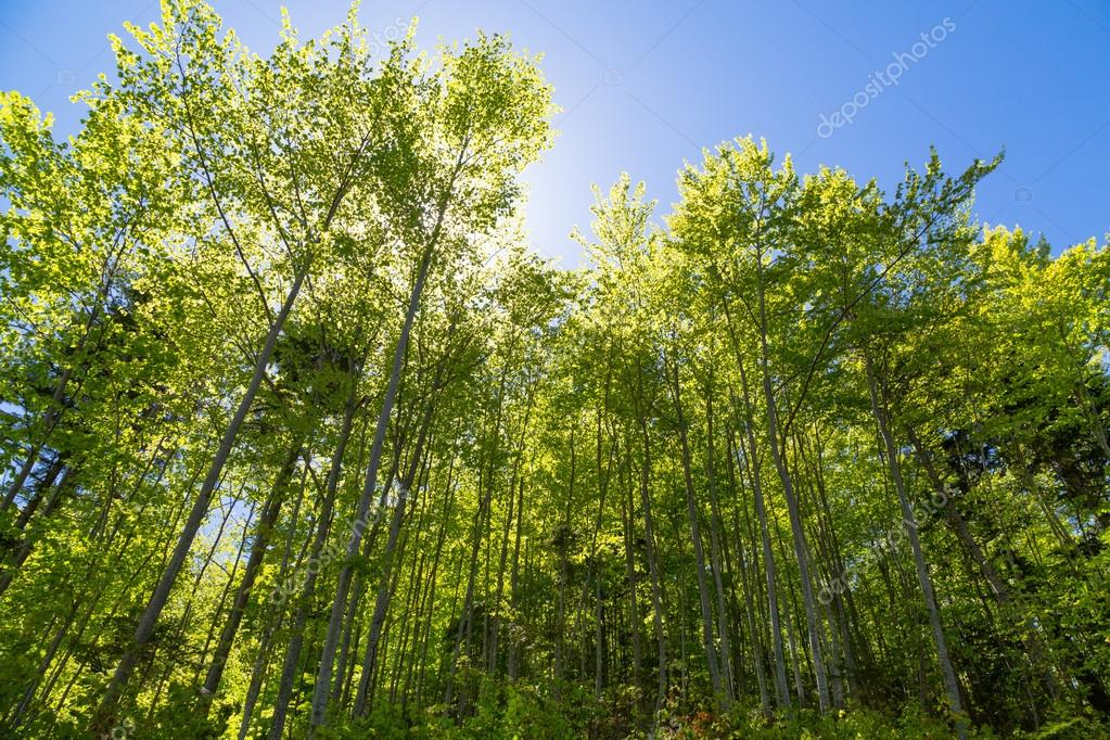 Фотообои Looking up green trees forest background and sun between trunks