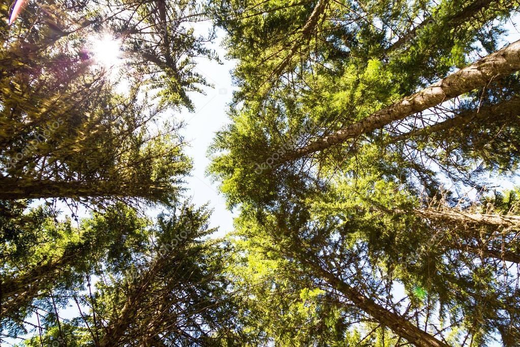 Фотообои Глядя вверх зеленые деревья фоне леса и солнце между стволов