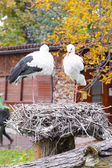 Two White storks at the nest — Stock Photo