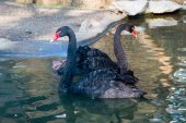 Swimming  black swans — Stock Photo