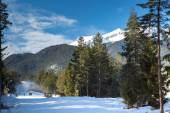 Green pine trees and white snow peak of the mountain behind — Stock Photo