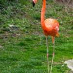 American or Caribbean Flamingo portrait — Stock Photo #70526371