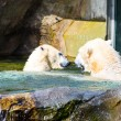 Couple of Polar Bear — Stock Photo #70638757