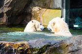 Couple of Polar Bear — Stock Photo