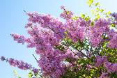 Syringa vulgaris blossom at spring time  — Stock Photo