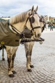 Two white horses in Traditional horse-drawn Fiaker carriage, Vienna — Stock Photo