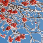 Bunches of rowan berries in the ice — Stock Photo
