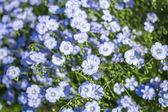 Flores de linho — Fotografia Stock