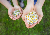 Camomile in hands — Stock Photo