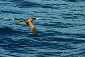 Seagull in flight against the blue of the sea — Stock Photo