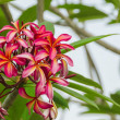 The branch of pink frangipani flowers — Stock Photo #70270937