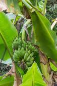 A Banana tree with a bunch of green bananas — Stock Photo