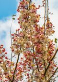 Wishing tree, pink shower, cassia bakeriana craib flower — Stock Photo