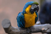 Colorful cockatoo parrot — Stock Photo