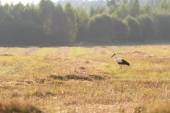 Adult walking White Storks on field — Stock Photo