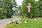 Ducks walking at railway crossing background — Stock Photo