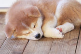 Japanese akita-inu breed sleeping puppy — Stock Photo