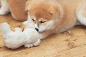 Japanese akita-inu puppy playing with toy friend — Stock Photo