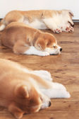 Tree Japanese akita-inu breed sleeping puppies — Stock Photo