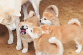 Japanese akita-inu breed dog family — Stock Photo