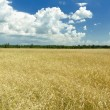 Cumulus clouds on rich blue sky high up over field — Stock Photo #68485837