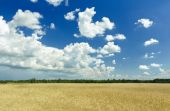 Fluffy clouds and deep blue sky above ripening farm field — Stock Photo