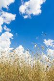 Cumulus clouds on aero blue sky over ripening oat grain ears field — Stock Photo