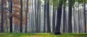 Forest trunks mist — Stock Photo