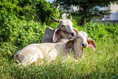 Cow resting — Stock Photo
