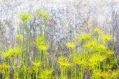 Egyptian papyrus sedge plant — Stock Photo