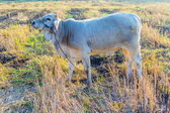 Cow resting — Stockfoto